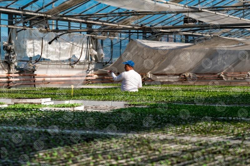 agricoltura coltivazione serra pianetine lavoro lavoratore uomo  Umbria