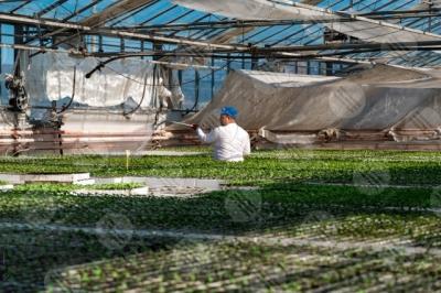 umbria agricoltura coltivazione serra pianetine lavoro lavoratore uomo